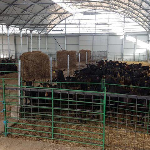 Cabras murciano granadinas